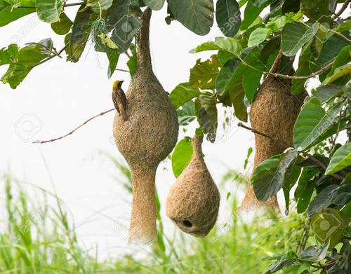The Weaver Bird By Kofi Awoonor Famous Poems Famous Poets