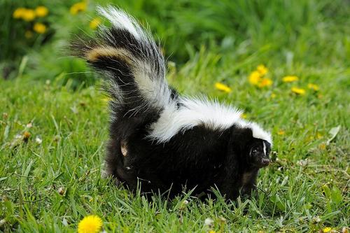 A Skunk Tail Monotetra A Poem By Originalsbyterry All Poetry