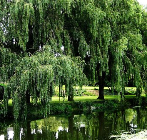 Sitting Under The Willow Tree A Poem By Debbie Brooks