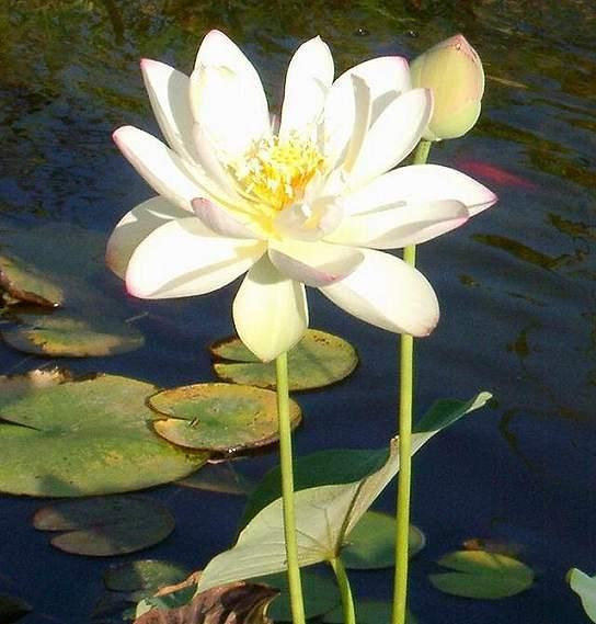 Lotus oriku a poem by maatkara all poetry mightylinksfo